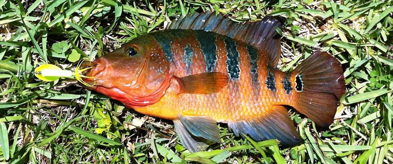 Catch nonnative freshwater fish get the chance to win for Florida freshwater fish species