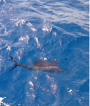 Sailfish Thomas.jpg