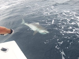 Tiger Shark Craig s.jpg